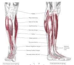 Sole Of The Foot Anatomy The Tibialis Anterior Muscle Corewalking