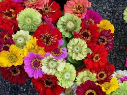 zinnia flower zinnia flower varieties colorful easy fast growing