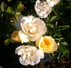 roses online popcorn drift for sale online garden goods direct