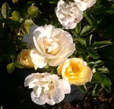 shop drift roses online garden goods direct
