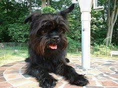 affenpinscher brussels griffon rescue affenpinscher dog for adoption in san pedro ca adn 414878 on