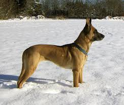 belgian shepherd wolf mix malinois dog wikipedia