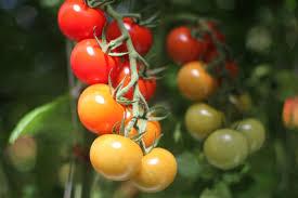backyard farms tomato tasting 4 9 10am 2pm cloverknd clover