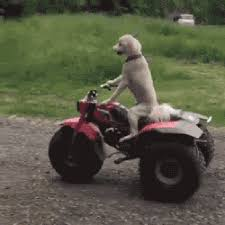 Dog Driving Meme - 16 reasons why we re pretty sure that driving dogs not driverless