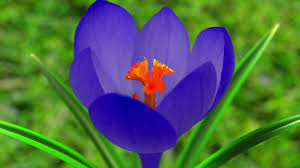 flower blooming blue crocus flower blooming 3d animation motion background
