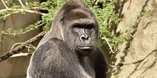 cincinnati mourns gorilla killed to save boy