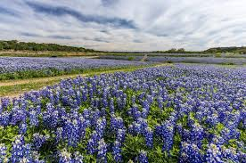Bluebonnet Flowers - bluebonnets are sprouting up early in texas but why