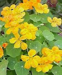 nasturtium flowers edible landscaping edible of the month nasturtium garden org