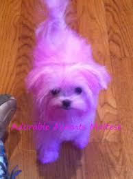 american eskimo dog rescue wichita ks adorable accents maltese puppies for sale new jersey akc