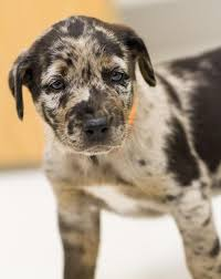 australian shepherd lab mix puppy australian shepherd lab retriever mix that tanner and i want to