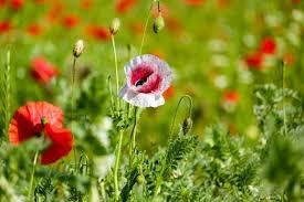 free stock photos of ornamental poppies pexels