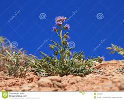 desert flower usa utah little desert flower scorpion weed stock image