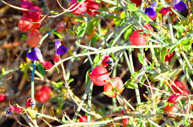 native plants in the desert desert flower sage
