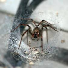 doctors turn to a spider u0027s deadly venom in hopes of treating
