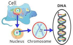 How Many Chromosomes Does A Somatic Cell Have 16 Answers How Many Chromosomes Are There In One Cell Quora