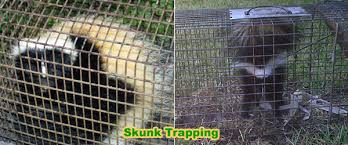 How Do I Get Rid Of Rabbits In My Backyard How To Get Rid Of Skunks Under Your Shed Or House Without Killing Them