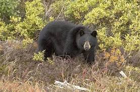 Bears Montana Hunting And Fishing - are black bears dangerous for hunters anglers and hikers outdoor