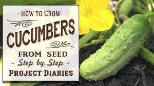 how to grow cucumbers from seed a complete step by step guide