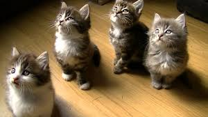 kittens too cute moves the head together beautiful long four