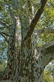 the plane tree ferrebeekeeper