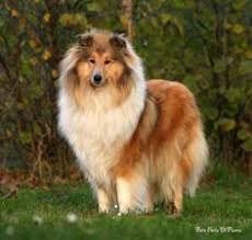 bearded collie mdr1 colley animo pinterest collie rough collie and dog