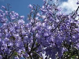 festival celebrates jacaranda blooms in downtown san diego