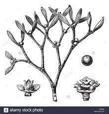 engravable photo album white mistletoe viscum album or european mistletoe vintage stock