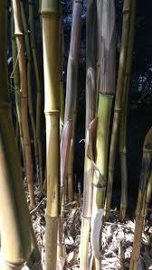 bambus fã r den balkon 94 best gestalten mit bambus images on landscaping