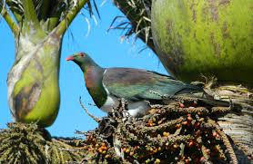 native plants new zealand new zealand pigeon kereru kuku kukupa new zealand native land birds