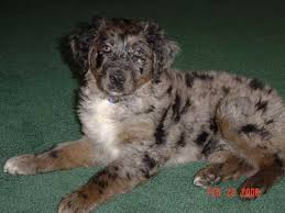 australian shepherd male names australian retriever australian shepherd golden retriever mix