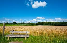 Field Bench Wooden Bench Against The Background Of Wheat And Corn Fields In