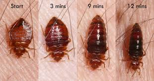 How Can I Kill Bed Bugs Bed Bugs Insects In The City