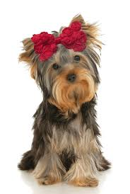 hair chiffon chiffon small dog hair bow dinkydogclub