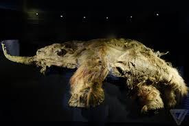 meet yuka 39 000 mummified woolly mammoth scientists