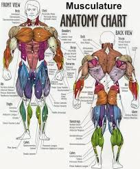muscle worksheet rringband intended for human anatomy muscles
