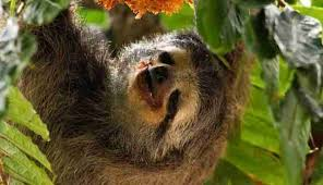 4 toed sloth 8 awesome things you didn t about sloths the dodo