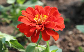 Zinnia Flowers Zinnia Pictures Zinnia Flower Pictures