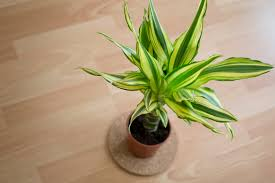 plant of the month dracaena fragrans corn plant plants and gardens