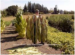 cultivating harvesting and curing tobacco victory seed company