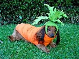 Dogs Halloween Costumes 25 Dachshund Costume Ideas Dachshund