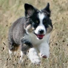 australian shepherd kid friendly toy australian shepherd puppy u0026 toy australian shepherd breed