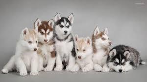 brown husky puppy wallpaper
