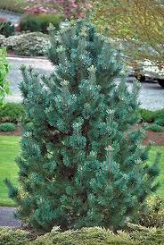 trees u0026 shrubs archives canadale garden centre st thomas