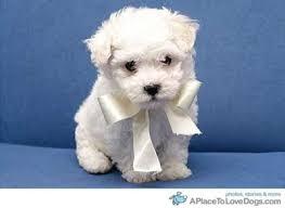 dog ribbon animal dog puppy ribbon inspiring picture on favim
