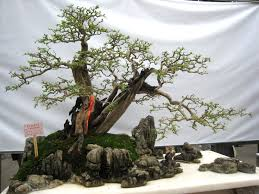 702 best penjing bonsai images on bonsai trees bonsai