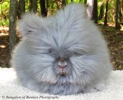 bungalow bunnies dutch u0026 english angora rabbits