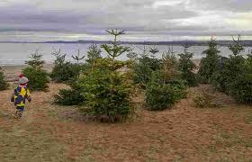 christmas trees appear on portobello beach entertain the kids