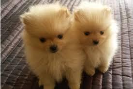 pomeranian x bichon frise sale pomeranian puppies for sale dog bazar