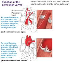 Gross Anatomy Of The Human Heart Heart Anatomy Chambers Valves And Vessels Anatomy U0026 Physiology