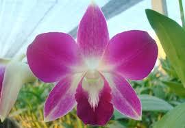 Dendrobium Orchid Purple Dendrobium Orchids Purple Dendrobium Orchids Suppliers And